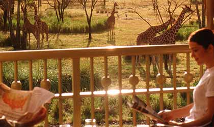 Giraffes roam the preserve at Disney's Animal Kingdom Lodge