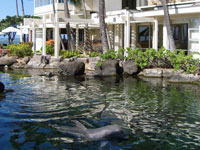Six Atlantic bottlenose dolphins, sea turtles, and tropical fish inhabit the 26,000 square-foot lagoon at The Kahala Hotel & Resort