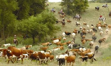 Herding cattle at Beaumont Ranch in Texas