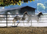 Horses at Alisal Guest Ranch, one of our Top 10 Wild West Ranches in the U.S.