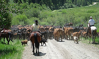 Cattle herding at Bar H Bar Ranch in Soda Springs, Idaho