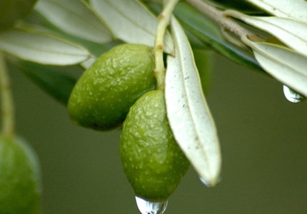 Olive leaves can help increase energy levels and lower blood pressure