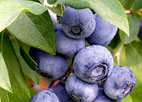 Blueberries, one of GAYOT's Top 10 Superfoods, are high in antioxidants and memory-boosting flavonoids