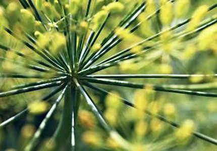 From stalks to seeds, fennel offers an myriad of health benefits