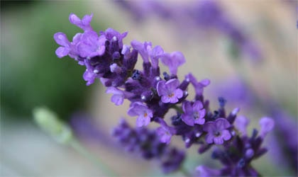 Lavender aromatherapy is an effective treatment for anxiety, and there is preliminary evidence for its use to treat depression, insomnia and workplace stress