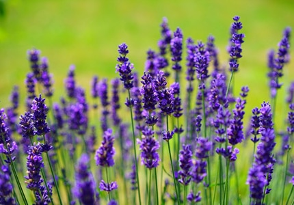 Lavender oil is anti-inflammatory and antibacterial