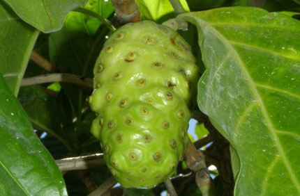 Noni offers a number of great health benefits