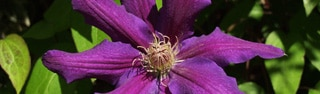 Passionflower, one of GAYOT's Top 10 Stress Busters