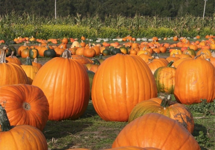 The brightly colored orange flesh of pumpkins is a clue to its wealth of carotenoids, which help neutralize free radicals and reduce the risk of cancer