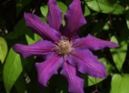 Passionflower soothes muscle tension, calms nerves and reduces insomnia