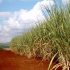 Sugar cane buffs away dry, dead skin