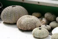 De-spined sea urchins