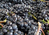 Harvested wine grapes