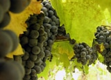 Clusters of grapes ready to be harvested