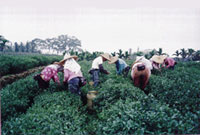 Farm workers in the fields of a small tea farm