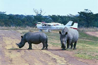 Rhinos at the Welgevonden airstrip