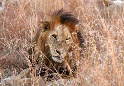 The King of the Jungle at rest in his home of South Africa