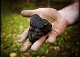 A fresh black truffle dug up from the earth