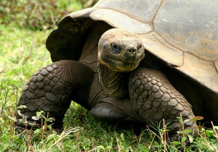 The Galapagos giant tortoise is one of many species that are unique to the Galapagos Islands