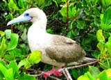 The red footed booby of the Galapagos Islands in Ecuador