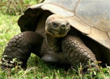 An image of a tortoise in our Galapagos Wildlife photo gallery