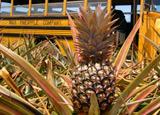 Maui Pineapple Company's Maui Gold