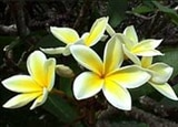 Yellow plumerias in Senator Fong's Plantation and Gardens