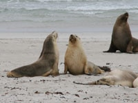 Seals on the beach of Kangaroo Island, Australia