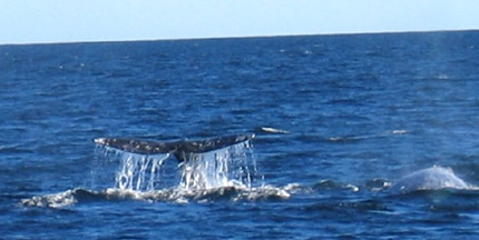 Whale watching in Southern California runs from the end of December to March