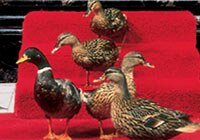 The Peabody's famous ducks