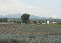 An agave field near Tequila, Mexico