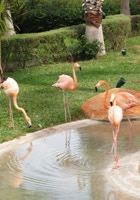 Pink flamingos in (permanent) residence at Pueblo Bonito Emerald Beach Resort & Spa