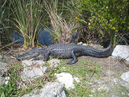 Alligator at Everglades National Park