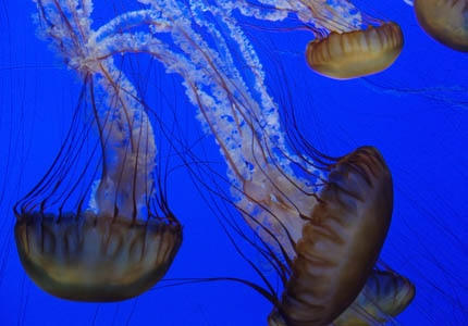 Sea nettles on exhibit at the Monterey Bay Aquarium in Monterey, California