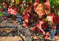 Fall in the Vineyards of Napa Valley