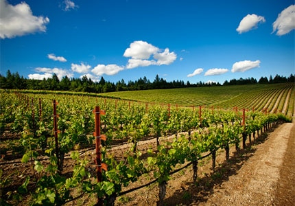 Hall Wines vineyard in St. Helena, California