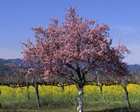 Napa Abloom in Spring