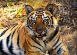 A tiger at Bandhavgarh National Park in India