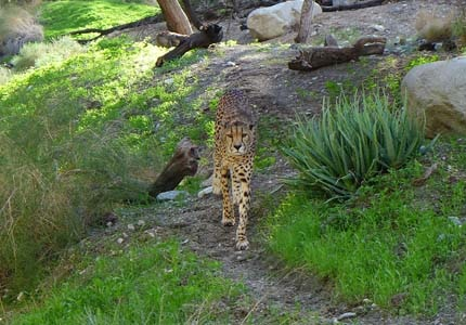 See America's Big Cat, the Jaguar at the Living Desert Zoo & Gardens in Palm Springs, California