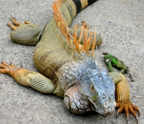Iguanas are an endangered species