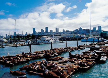 The sea lion population at Pier 39 in San Francisco peaks at about 600 animals in January and February
