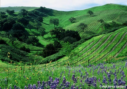 Vineyards are part of the vibrant scenery in Santa Barbara County, California
