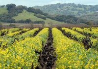 Mustard growing between rows of old vine zinfandel in Kenwood