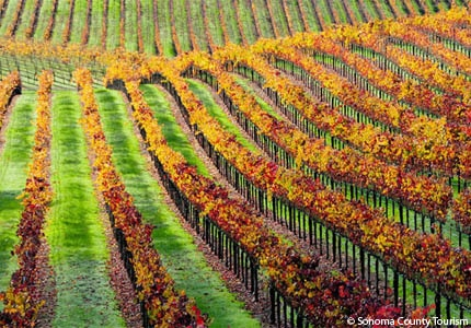 A vineyard in Sonoma County, California