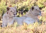 White lions at the Sanbona Wildlife Preserve