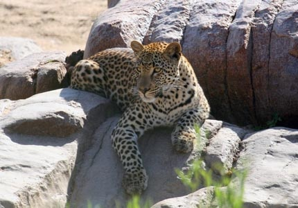 A leopard relaxes in the South African sun