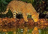 Visit the Cockscomb Jaguar Preserve with this travel package