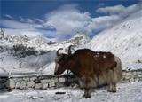 Yak skiing in Manali, India