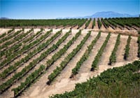 Falkner Vineyard in Temecula