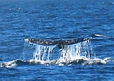 Whale Watching in Oxnard Ventura County